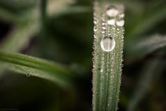 Dew (Kilkennycat) Tags: plant macro water grass leaves canon leaf drops flora vine dew blade 500d t1i 100mm28l ryanconnerskilkennycat