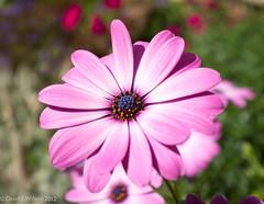 Sublime (David S Wilson) Tags: uk flowers england flower ely fens 2012 flowersplants fujifilmx100 davidswilson adobelightroom4
