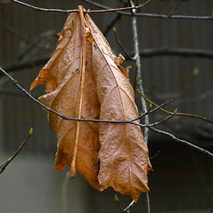HANGING TO DRY! (ikan1711) Tags: autumn trees fall leaves decay branches hanging fallscenes lastleaves autumnscenes decayedleaves lastfallscenes hangingleavesberries lasthangingleaf