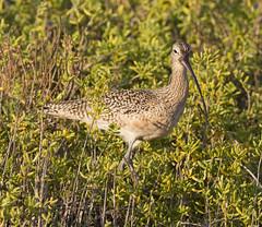 BI121119-402-Long-billed Curlew (lgooch) Tags: texas southpadreisland longbilledcurlew numeniusamericanus taxonomy:binomial=numeniusamericanus november2012 southpadreislandbirdingandnaturecenter