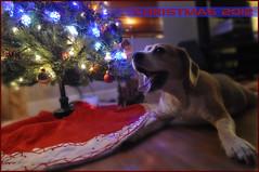 Pix_WiFi under Xmas Tree-01 (FMD-Paulo) Tags: christmas tree beagle florida weston