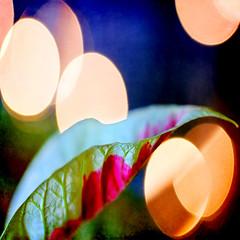 at the edge (1crzqbn) Tags: christmas color macro texture nature flora bokeh poinsettia 7d ie xmaslights shining hypothetical tistheseason hbt coth happybirthdaycharlie artdigital attheedge innamoramento bigbokehballs trolled bokehthursday awardtree magicunicornverybest exoticimage 1crzqbn netartii