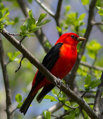 Scarlet Tanager (powershotpix) Tags: trees red lake ontario canada male nature birds scarlet spring woods mud ottawa trails migration 2012 tanager perching piranga olivacea