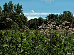 Balade dans les champs (Jean S..) Tags: field flowers sky trees summer day outdoor park clouds white blue green