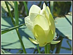 Lotus (Suzanham) Tags: lotus aquaticplant flower nature petals bloom