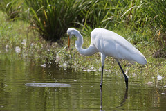 great egret at the pond-8 (Scott Alan McClurg) Tags: aalba ardea ardeidae algae animal back backyard bluesky flap flapping flight fly flying glide gliding glow greategret land landing life nature naturephotography neighborhood pond portrait sky summer sun wetlands white wild wildlife
