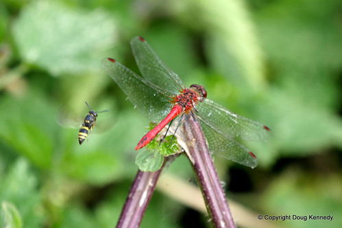Ruddy Darter and Hoverfly