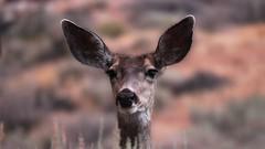 Deer Statue (RStonejr) Tags: deer nature canon dslr california frozen beauty doe inyo muledeer inyocounty sierranevada glacierlodge sierras wild animal animalplanet wildlife bigpine