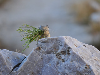 Busy Little Pika