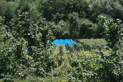 ckuchem-1394 (christine_kuchem) Tags: ahrtal anbau anbaugebiet eifel felsen naturschutz netze rotweinwanderweg schiefer schieferfelsen schutz sommer vogelfras vogelschutz weinanbau weinberg weintraubenanbau blau weintrauben
