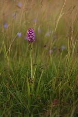 Pyramidal Orchid (Derbyshire Harrier) Tags: pyramidalorchid easternmoors rspb nationaltrust peakdistrict peakpark summer moorland macro 105mm 2016 grassland anacamptispyramidalis