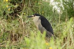 heron bihoreau au parc ornithologique du pont de Gau (frimoussec) Tags: heron bihoreau parc ornithologique du pont de gau