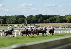 Tattenham Corner bound (smcnally24601) Tags: epsom downs racing horse horses jockey riding surrey england britain summer late betting sport
