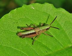 green on green (Hugo von Schreck) Tags: jumper hpfer macro makro insect insekt hugovonschreck outdoor green grn tamronsp90mmf28divcusdmacro11f017 canoneos5dsr onlythebestofnature
