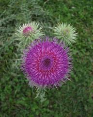 253/365: Thistle (Kelvin P. Coleman) Tags: canon powershot nottingham thistle flower flowerhead floret 365 closeup pink purple field