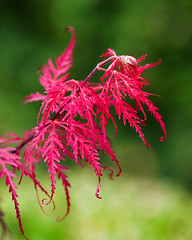 Japanese Maple.. (zoomclic) Tags: canon closeup colorful leaves red green dof dreamy bokeh tree japanesemaple nature summer zoomclicphotography