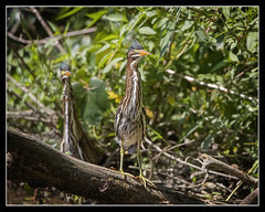 Who Goes There?!?!... (DTT67) Tags: birds heron littlegreenheron greenheron canon nationalgeographic nature wildlife maryland