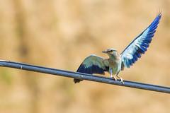 European Roller (keynowski) Tags: europeanroller gkkuzgun coraciasgarrulus ngc animalplanet