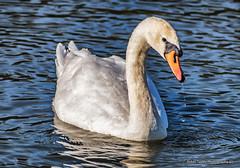 Swan (robinta) Tags: swan bird wildlide nature wildfowl animal feather herrington water park reflection aquatic wild pentax ks1 sunderland sigma70300mmapo