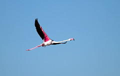 El vuelo del flamenco (ibzsierra) Tags: ibiza eivissa baleares canon 7d 100400isusm vuelo flamenco flamingo flight cielo azul blue sky ave bird oiseau salinas parque natural