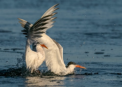 Brace for impact....too late. (cbjphoto) Tags: bolsachica carljackson ecological photography reserve tern avian bird elegant inflight