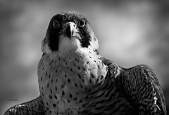 Águila perdicera (bit ramone) Tags: eagle nature wildlife bitramone naturaleza andalucia españa spain águila perdicera fauna