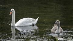 Swan and Cygnet (claudy75) Tags: cygnet swan painshillpark londonparks londonwildlife wildlife birds muteswan nature pond londonbirds