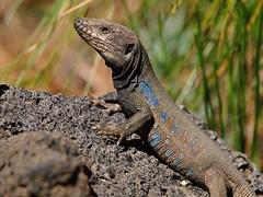 lagarto tizn (kozoga) Tags: lagarto lagartotizn gallotiagalloti