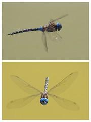 Dragonfly Anatomy (tourtrophy) Tags: dragonfly insert flyinginsect donedwardswildliferefuge alviso macro macrophotography canoneos7dmark2 canonef100400mmf4556lisusm
