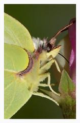 Butterfly / Citronfjril (G.Claesson) Tags: fjril citronfjril butterfly schmetterling sommar summer sommer sverige sweden hglandet gonepteryxrhamni dagfjril