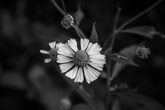 Common-Sunflower-In-B&W (desouto) Tags: nature hdr wildflowers monochrome plants trees