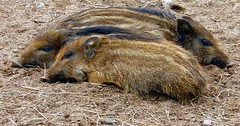 """Der Frischling. Die Frischlinge. Das junge Wildschwein. Die jungen Wildschweine. • <a style=""""font-size:0.8em;"""" href=""""http://www.flickr.com/photos/42554185@N00/29313046736/"""" target=""""_blank"""">View on Flickr</a>"""