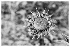 thorns and webs ~ espinhos e teias (Rodrigo Uriartt) Tags: bw pb cardo thistle mono fujifilm xpro1 dry macro poetry poesia espinhos thorns nature gray bokeh blackandwhite monochrome outdoor photo border depthoffield israel