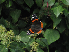 252/365: Red Admiral (Kelvin P. Coleman) Tags: canon powershot nottingham nature garden autumn 365 black red ivy