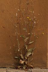Still aLive (gripspix (OFF)) Tags: wildblume unkraut weeds wildflower driedoff vertrocknet stilllife stillleben decay verfall vanitas