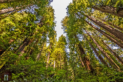 Northern California Coast (randyandy101) Tags: california northern redwoods trees sky green red ferns straight tall