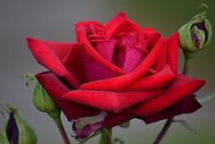 Scarlet Rose (jhonnyclickplane) Tags: flower rose petals beauty red scarlet d3300 nikon nature