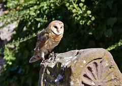 Chouette effraie (Diegojack) Tags: oiseaux rapaces volerie aigles kintzheim alsace chouette effraie chouetteeffraie