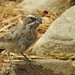 ID Photo Juvenile Black Throated Sparrow