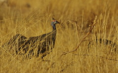 Helmeted Guinea Fowl In Long Dry Grass, Etosha NP, Namibia, Africa   K__37747 (Mike07922, 3 Million+ Views - thanks guys) Tags: etosha namibia africapentaxk3