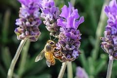 Bee! (miguelgbeas) Tags: sal70400g sonya99 sonyalphamexico abeja bee lavanda lavander
