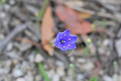 Chamaescilla corymbosa var. corymbosa (Javier Izan Jeff Lu) Tags: asparagaceae chamaescilla