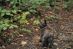 Sedum - 9/24/16 (myvreni) Tags: vermont autumn fall animals dogs cairnterriers pets