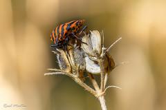Striped shield bug (Ral_M_M) Tags: striped shield bug chinche rayado