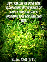 verse Psalm 52 8 (Burntwood90) Tags: psalm psalms olive olivetree god trust love forever