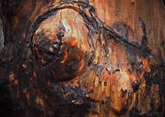 Scorched bark_c (gnarlydog) Tags: fire bushfire nature australia bark detail abstract orange charred scorched adaptedlens kodakanastigmat63mmf27 closeup tree texture