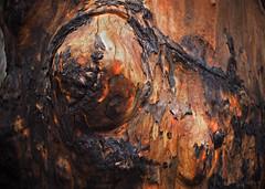 Scorched bark_c (gnarlydog) Tags: fire bushfire nature australia bark detail abstract orange charred scorched adaptedlens kodakanastigmat63mmf27 closeup tree texture
