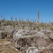 Giant Lobelia landscape