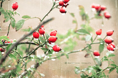 Bayas rojas (Maril Irimia) Tags: autumn naturaleza nature photoshop nikon campo otoo shrubs redberries arbustos softcolors photographictextures phototextured coloressuaves oltusfotos bayasrojas magicunicornverybest fototexturizada marilirimia marilirimiafotografa maanaotoal fotoeditadaconps bestevercompetitiongroup photoshopenfotografa bestevergoldenartists texturasenfotografa creativephotocafe fotocontextutras autumnmorningfieldwithpseditedphoto photowithtextutras