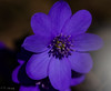 I miss Spring - Anemone Hepatica (CecilieSonstebyPhotography) Tags: flowers blue flower macro oslo closeup canon march petals spring purple outdoor petal canoneos vår ef100mm macro100mm anemonehepatica canon60d artisticflowers takenwithlove exquisiteflowers canoneos60d mindigtopponalwaysontop lovelyflickr thegoldenachievement